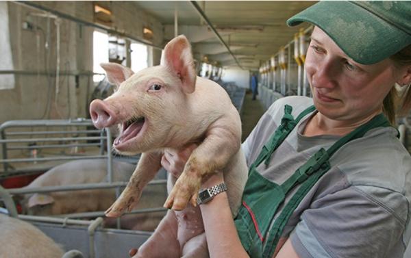 возведение свинокомплекса