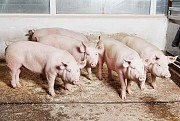 Предлагаем: Свинину в живом весе Выкса
