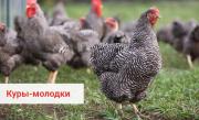 Предлагаем: Кур молодок породы Dominant доставка из г.Менделеевск