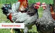 Предлагаем: Кур несушек породы Dominant доставка из г.Менделеевск
