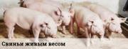 Предлагаем: свинину в живом весе Тула