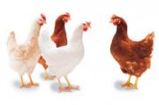 Предлагаем: Суточных цыплят доставка из г.Ташкент