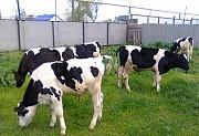 Закупаем молодняк крс, (бычки, тёлочки) 50-100 кг в Витебской области Орша