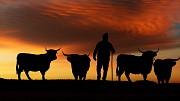 Коровы Калмыцкой породы живым весом на убой Элиста
