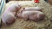 Свиньи живым весом доставка из г.Красноярск