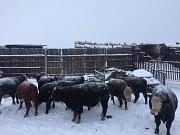 Продажа герефордов и казахов Екатеринбург