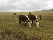 Герефорд нетели, телки, коровы доставка из г.Екатеринбург