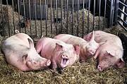 Свиней 1, 2 кат. свиноматок и мелковес Москва