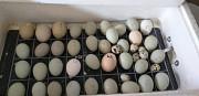 Цыплята и яйца породы Ухейилюй Санкт-Петербург