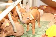 Продаю Поросята Хряк , породы Дюрок I (беконная) на выращивание в Липецке  доставка из г.Липецк