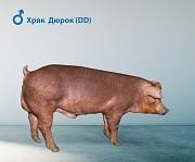 Продаю Поросята Хряк , породы Дюрок для выращивания в Липецке  доставка из г.Липецк