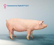 Продаю Свиньи на выращивание, откорм , породы Гибридная свинка F1 в Липецке  доставка из г.Липецк