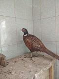 Продаю Цыплята на выращивание, откорм  в в Санкт-Петербурге  Санкт-Петербург