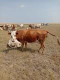 Продаем: Коровы порода симментальская на убой в Баймаке  доставка из г.Баймак