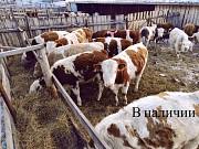 Продаем: Быки порода симментальская на откорм в Баймаке доставка из г.Баймак
