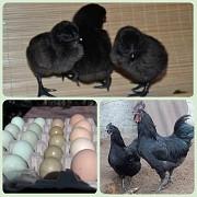 Продаю Цыплята  Ухейилюй породы Яичные в Санкт-Петербурге  доставка из г.Санкт-Петербург