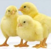 Продаю Цыплята  Мясные Корниш в Пензе  доставка из г.Пенза