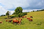 Продаем: Телята бычки породы герефордская на выращивание в Балашове  доставка из г.Балашов