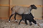 Племенные овцы и бараны романовской породы Москва