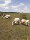 Продаем: Коровы порода симментальская на выращивание в Липецке  Липецк