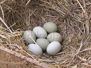 Предлагаем Инкубационное куриное яйцо Новосибирск