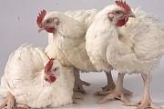 Предлагаем Живую курицу Александровка