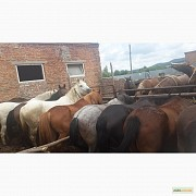 Продам: Лошадей живым весом Знаменск
