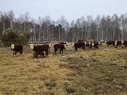 Коровы породы Герефорд доставка из г.Курган