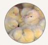 Предлагаем: Корм для выращивания птицы
