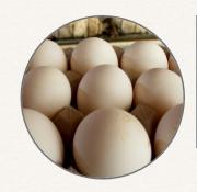 Предлагаем: инкубационное яйцо Ахтарский