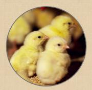 Предлагаем: живую птицу Ахтарский
