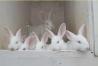 Предлагаем: Кроликов породы «Белый великан»