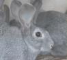 Предлагаем: Кроликов породы «Советская шиншилла»