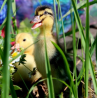 Продажа утят: Башкирская цветная, Мускусная утка