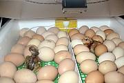 Яйцо куриное на еду и инкубационное Санкт-Петербург