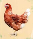 Предлагаем живую птицу: Хайсекс Браун Березовка