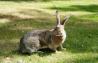 Предлагаем: кроликов породы Серый Великан