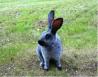 Предлагаем: кроликов породы серебристый
